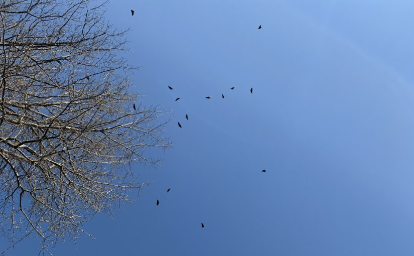 18ish vultures circling next to the top of a tree